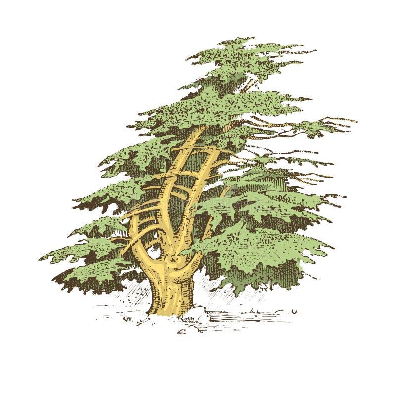 Satz der Hand gezeichneten italienischen Zypresse der Bäume und der Steinkiefer, pinea, olivgrüne Vektorillustration, gravierte S vektor abbildung