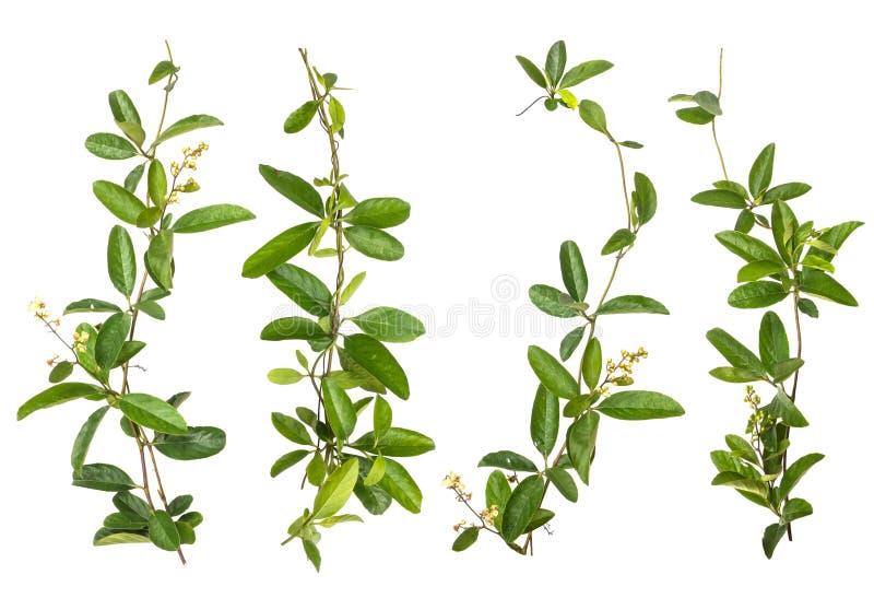 Satz der Kriechpflanzenblume lokalisiert stockbild