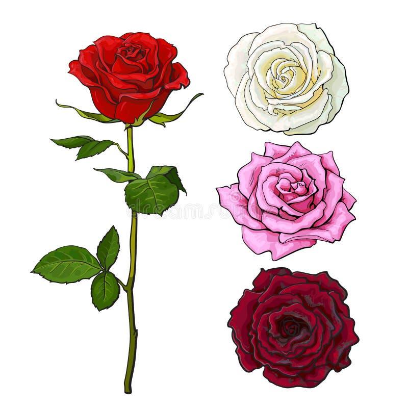 Satz der rosa, weißer, Rotrosen-, Spitzen- und Seitenansicht lizenzfreie abbildung
