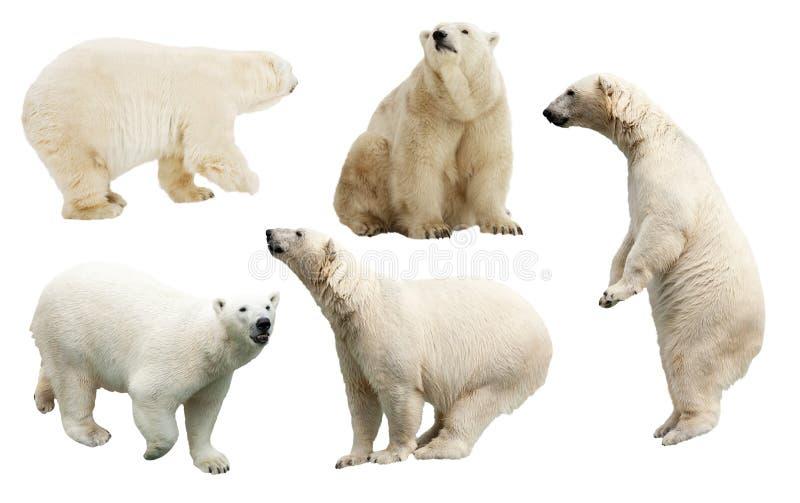 Satz des Eisbären. Lokalisiert über Weiß lizenzfreies stockfoto