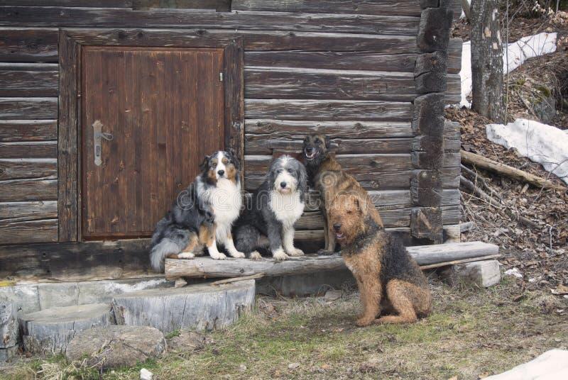 Satz des Hundes: australischer Schäfer, Bearded Collie, belgische malinois, airdale Terrier, der vor altem hölzernem cabine still lizenzfreie stockfotos