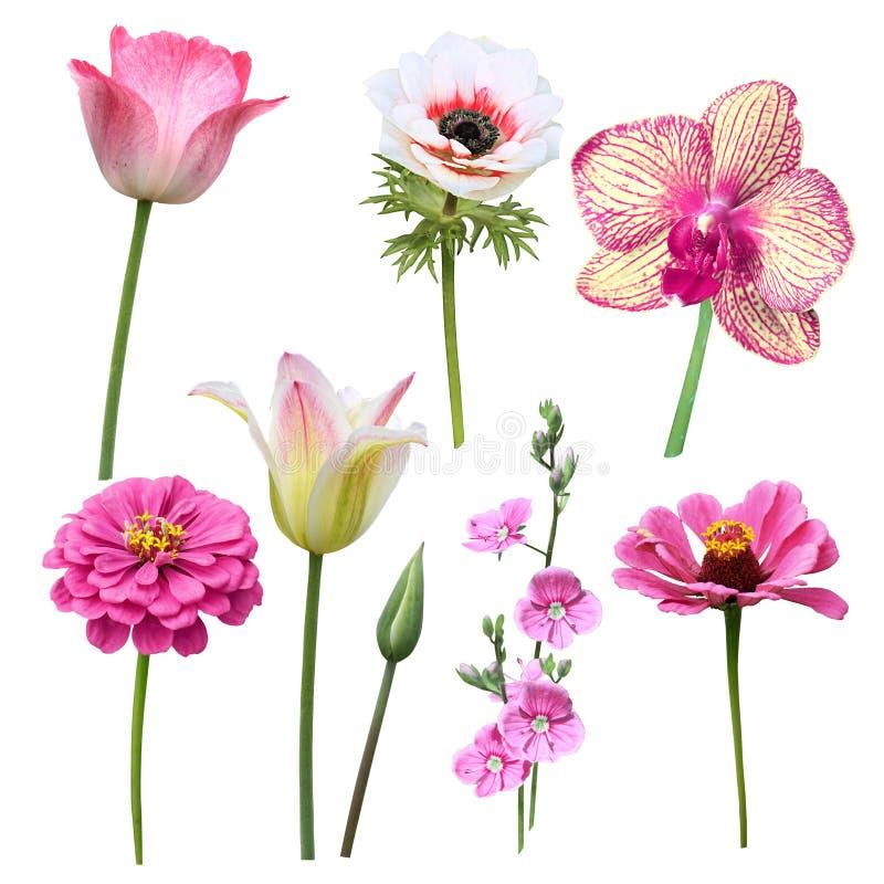 Satz des Rosas lokalisierte Blumen auf einem weißen Hintergrund lizenzfreie stockfotografie