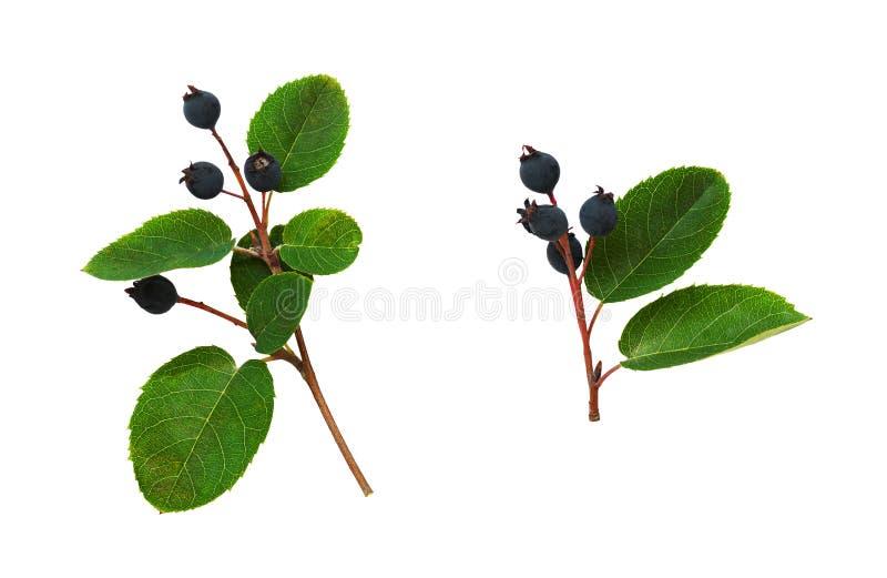 Satz dunkelblaue Beeren und Grünblätter lizenzfreies stockfoto