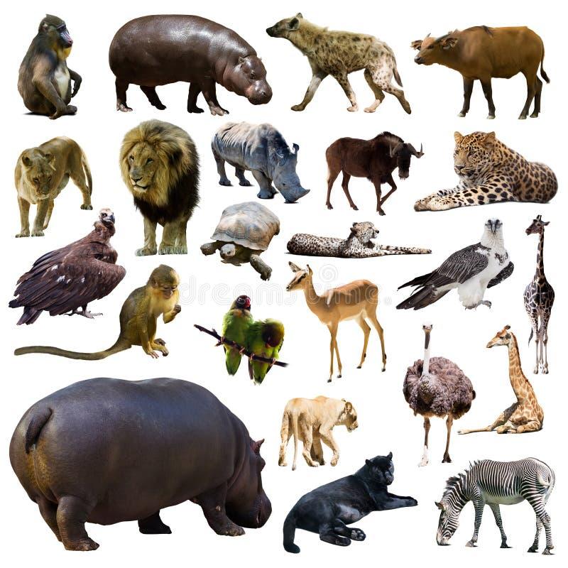 Satz Flusspferd und andere afrikanische Tiere Getrennt stockfotos