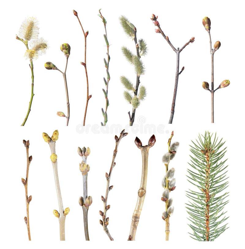 Satz Frühlingsbaumaste mit den Knospen lokalisiert auf weißem Hintergrund Verschiedene Baumaste stockfotografie