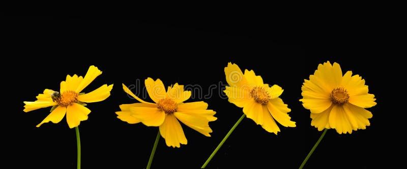 Satz gelbe Blumen auf einem schwarzen Hintergrund lizenzfreie stockfotografie
