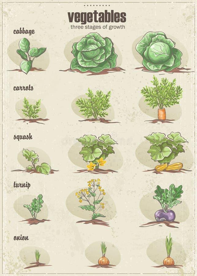 Satz Gemüse mit drei Stadien ihres Wachstums set1 lizenzfreie abbildung
