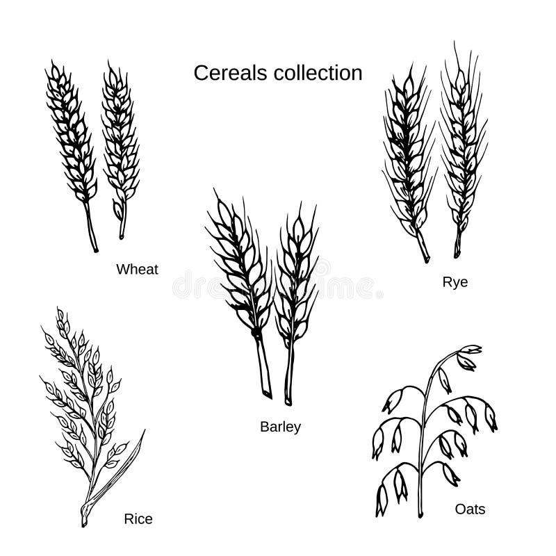 Satz Getreide Gerste, Roggen, Hafer, Reis und Weizen stockbild