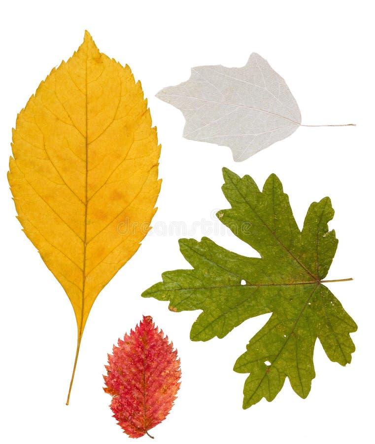 Herbarium Blätter satz getrocknete blätter der unterschiedlichen farbe für einen