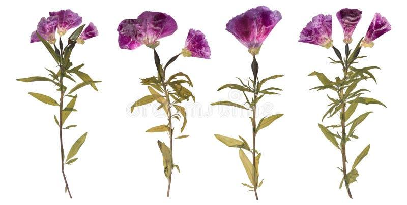 Satz getrocknete und gepresste Blumen Herbarium von purpurroten Blumen lizenzfreie stockbilder
