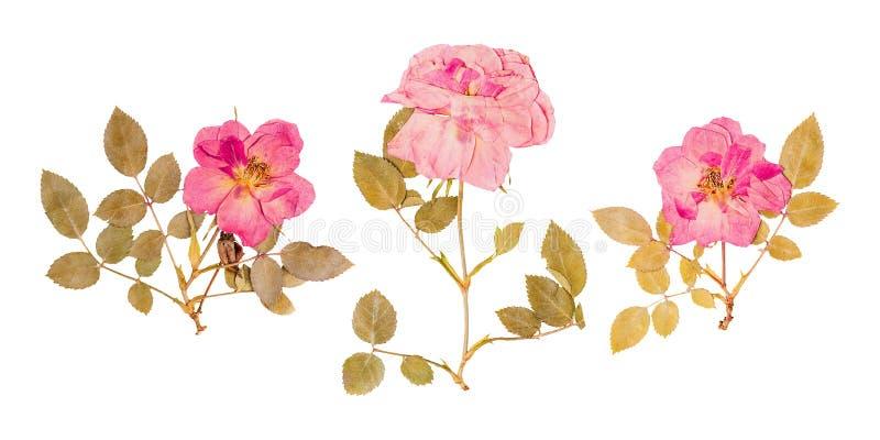 Satz kleine getrocknete Rosen gedrückt vektor abbildung