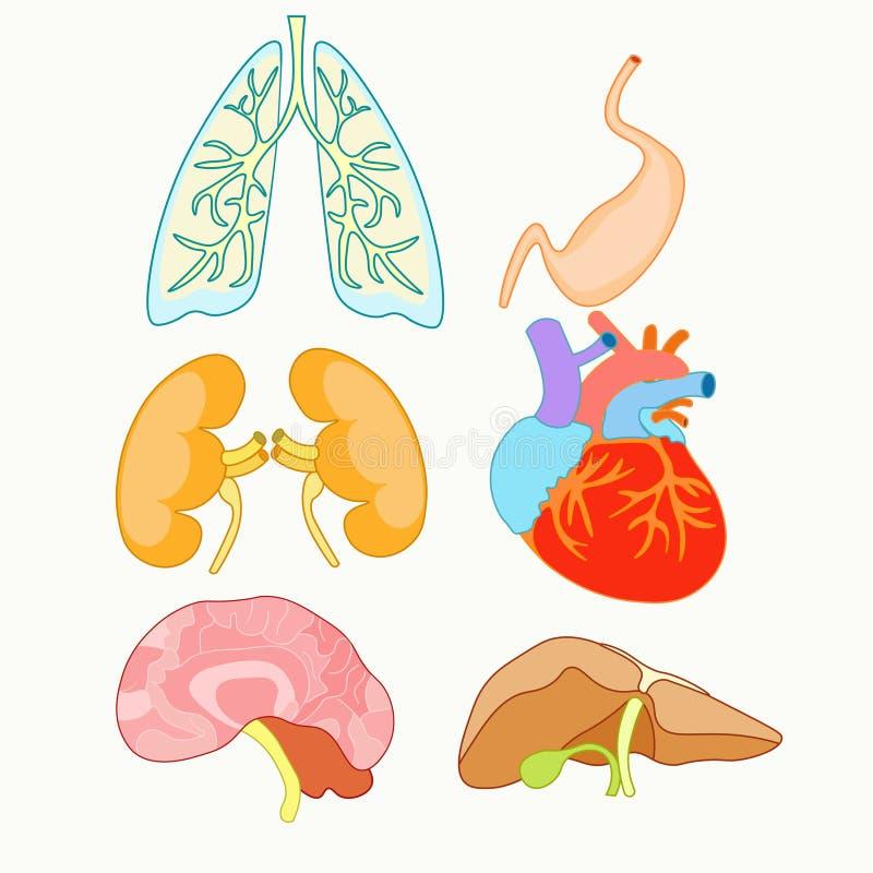 Satz Menschliche Organe Herz, Lungen, Leber, Nieren Und Gehirn Vec ...