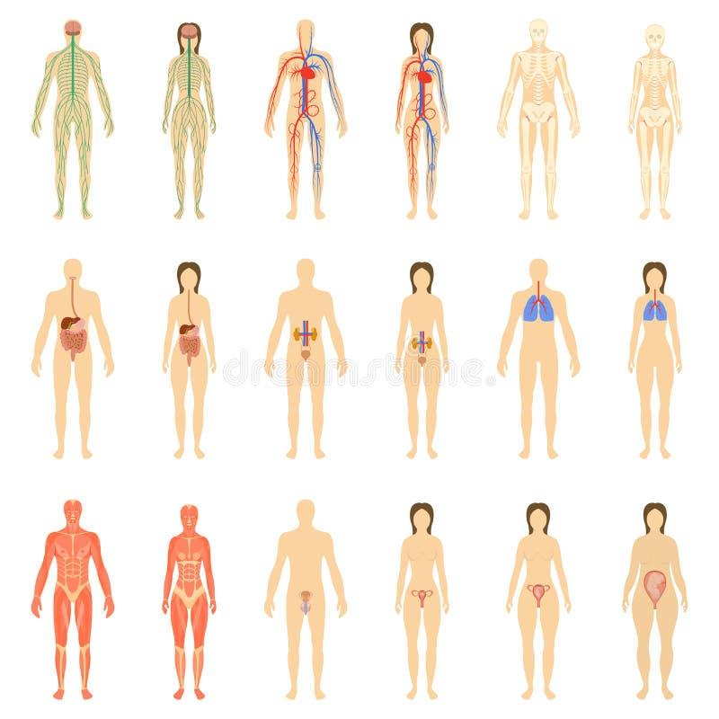 Satz menschliche Organe und Systeme stockfoto