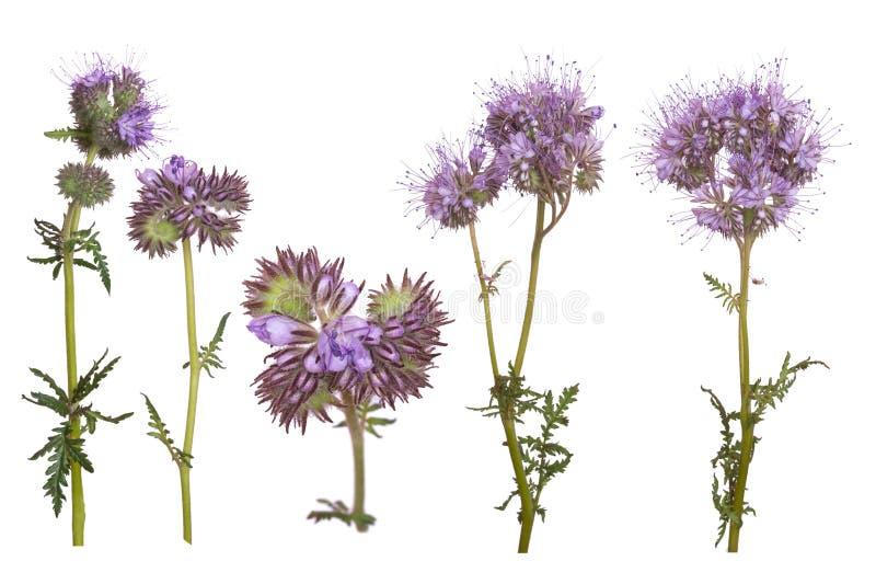 Satz Phacelia-Blumen lokalisiert auf weißem Hintergrund stockfotografie