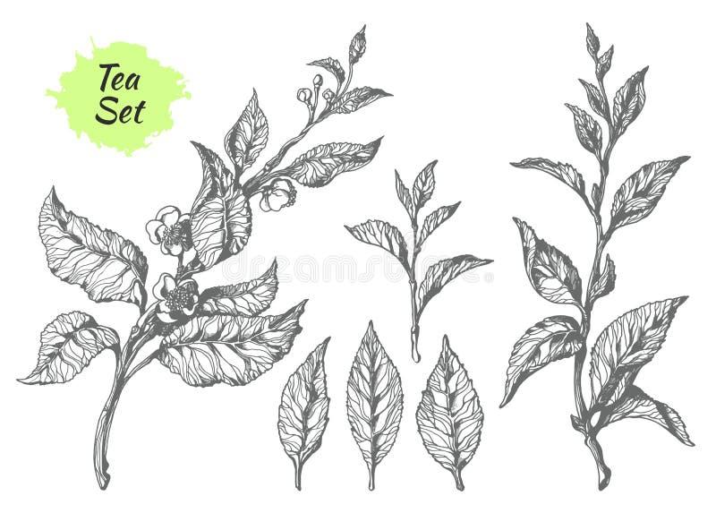 Satz Teebuschniederlassungen Botanische Zeichnung Vektor stock abbildung