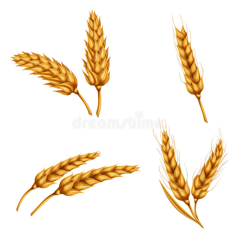 Satz Vektorillustrationen von Weizenährchen, Körner, Garben Weizen lokalisiert auf weißem Hintergrund lizenzfreie abbildung