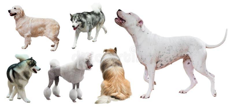 Satz von Dogo Argentino und andere Hunde stockfoto