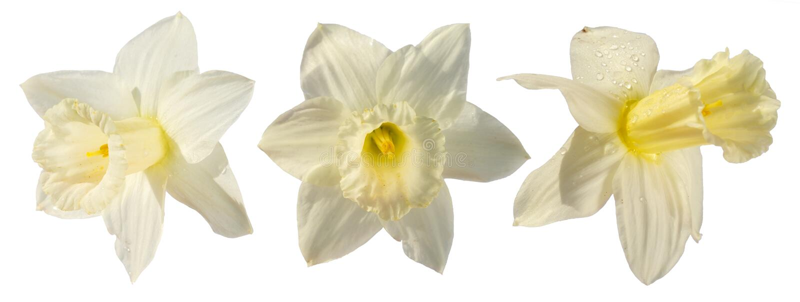 Satz von drei weißen Narzissenblumenblättern stockfotos