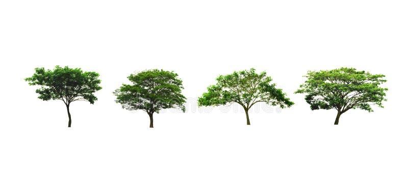Satz von Regen Baum oder von silk Baum- oder ostindischemwalnussbaum, die auf weißem Hintergrund lokalisiert wird, schaut frisch  lizenzfreie stockbilder