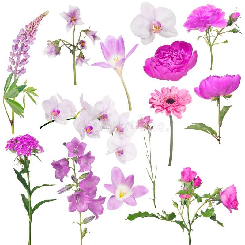 Satz von vierzehn rosa Farbblumen lokalisiert auf Weiß stockfoto