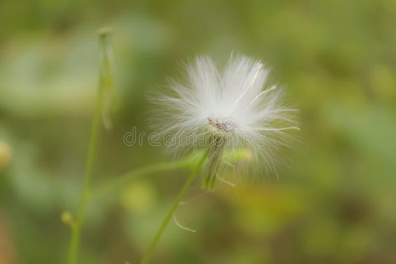 Sau-Distel-wilde Blume lizenzfreie stockfotos