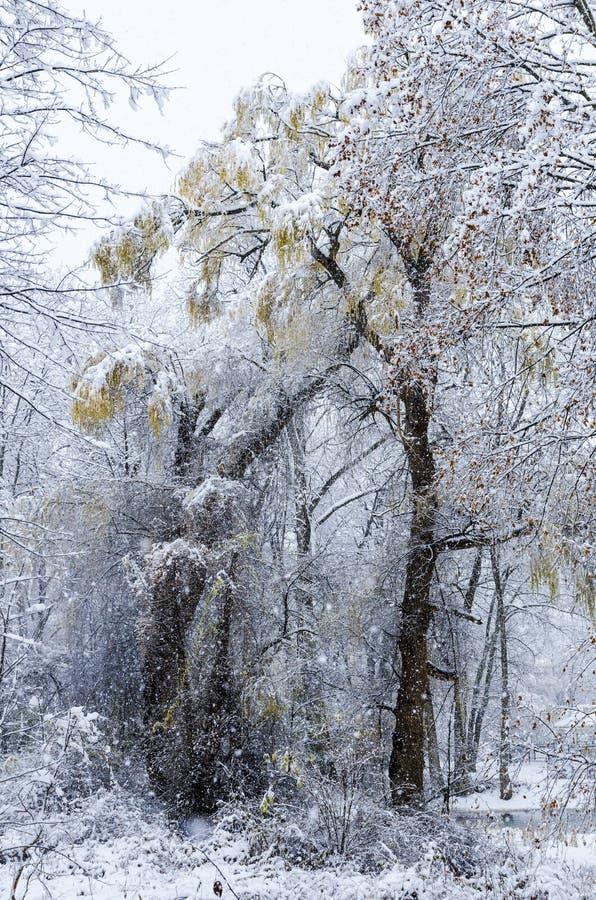 Sauce en nevada imágenes de archivo libres de regalías