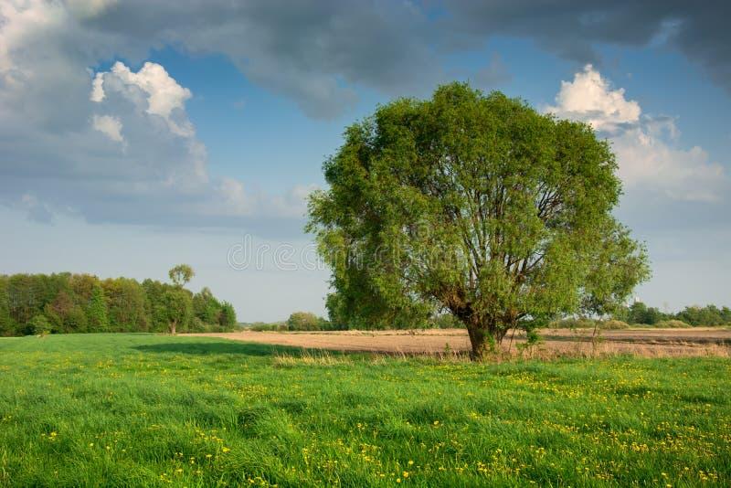 Sauce grande que crece en un prado verde con las flores amarillas foto de archivo
