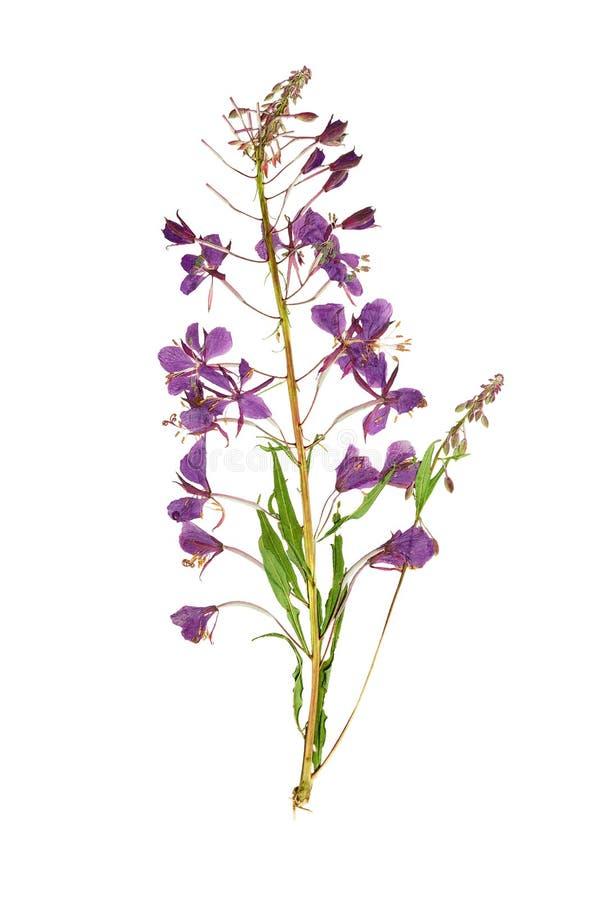 Sauce-hierba presionada y secada de la flor (epilobium) Aislado en wh fotografía de archivo