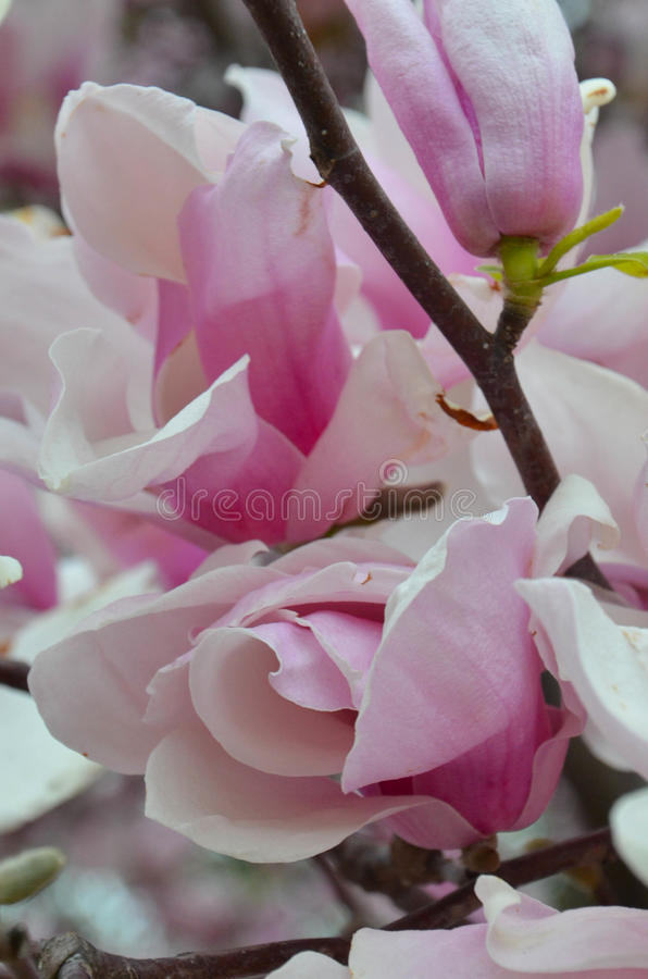 Saucer Magnolia Begins to Open in Early Spring royalty free stock images