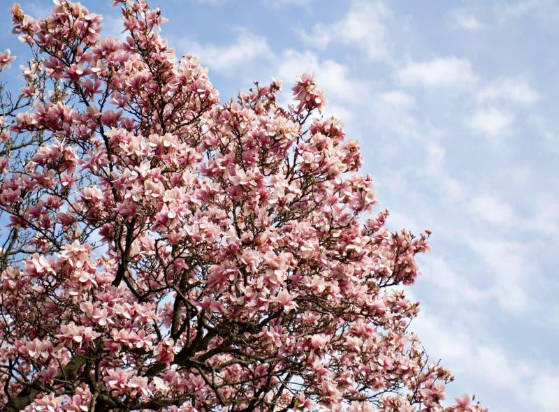 Saucer-Magnolie-Baum in der Blüte stockfoto