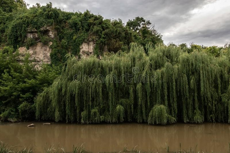 Sauces verdes que crecen sobre el agua de un río Amarillo fangoso cerca de las rocas imagen de archivo