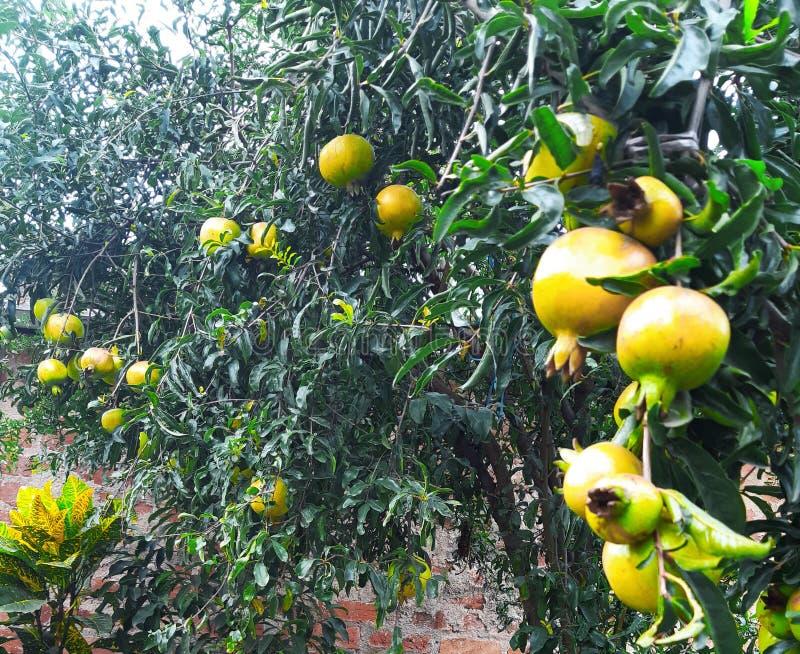 Saudável amadureça romã em uma árvore fotos de stock