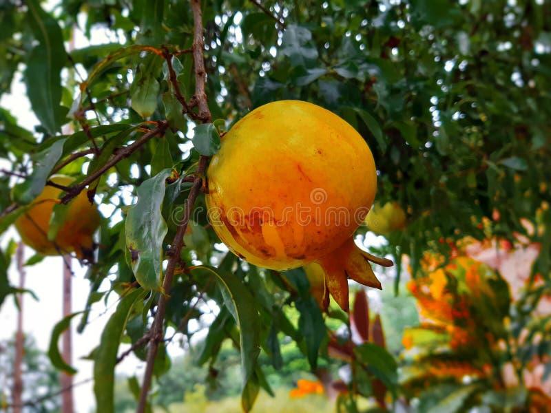 Saudável amadureça romã em uma árvore imagens de stock
