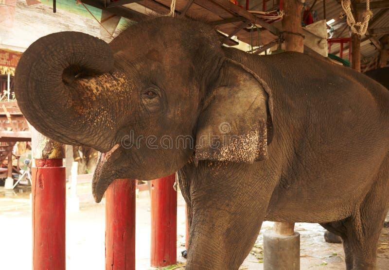 Saudação do elefante fotos de stock