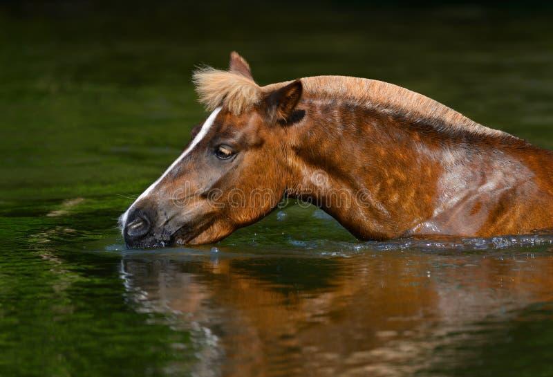 Sauerampfer-Hochlandpony, Das In Einem Teich Trinkt Lizenzfreie Stockbilder