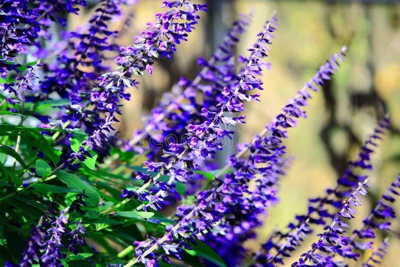 Sauge bleue photo libre de droits