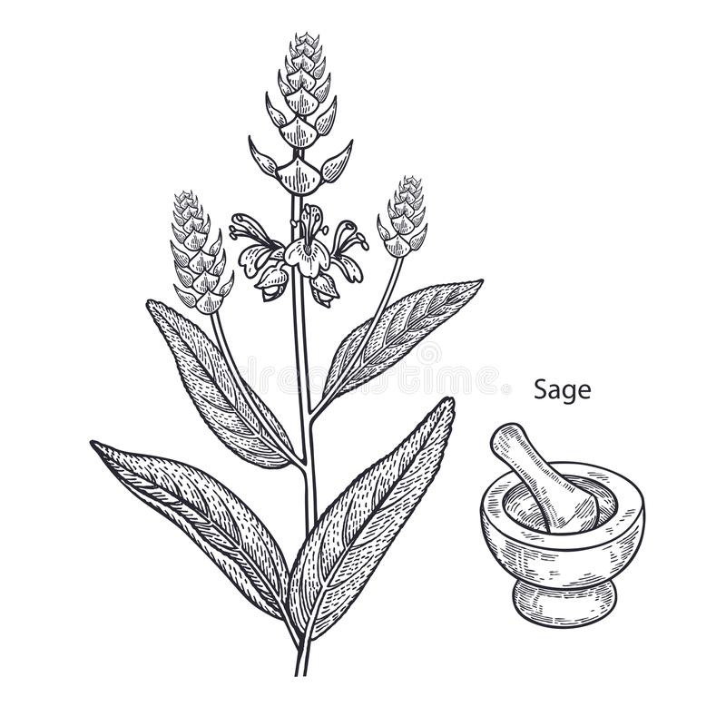 Sauge de plante médicinale illustration stock