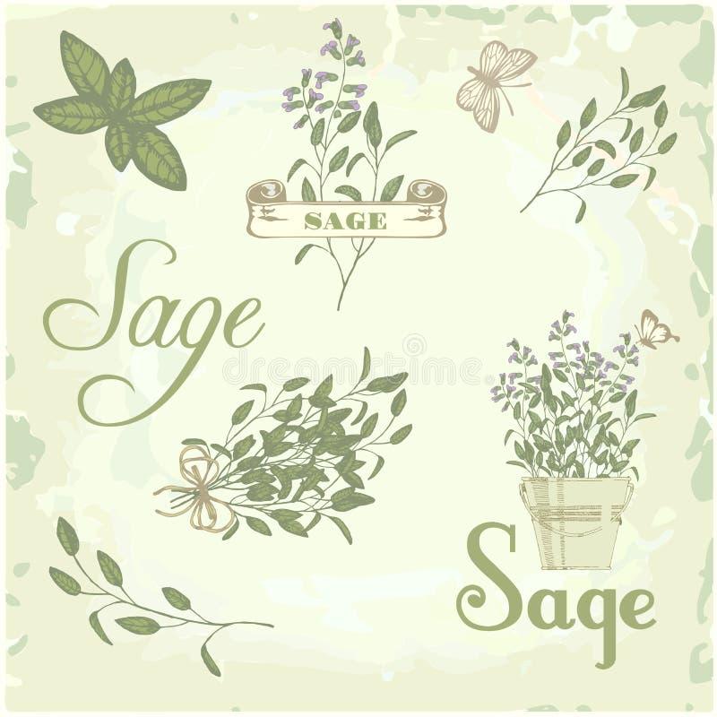 Sauge, salvia, sauge de clary, herbe, illustration de vecteur