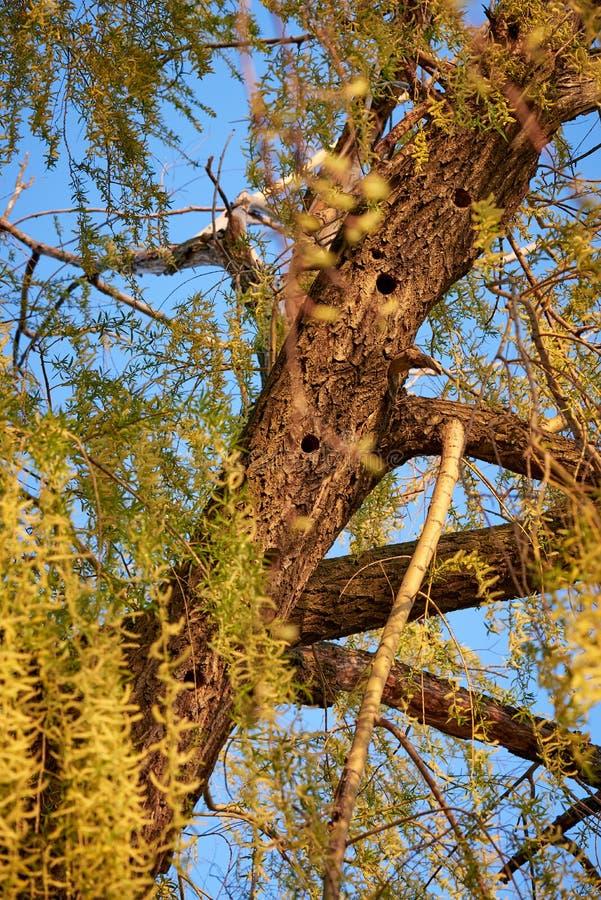Saule avec la forêt de cavité de pivert au printemps photographie stock libre de droits