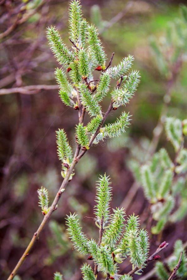 Saule de chèvre Branches de saule avec des bourgeons Paume dimanche Branche fleurissante de jeune salix cinerea Fleurs sensibles image libre de droits
