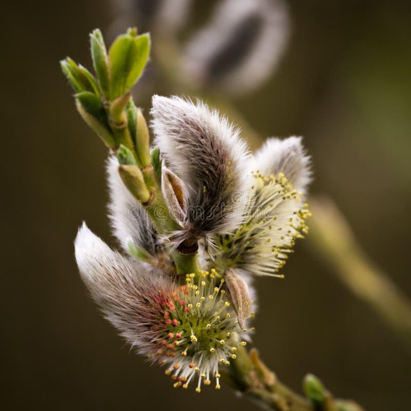 Saule de chat - ressort - Salix photographie stock