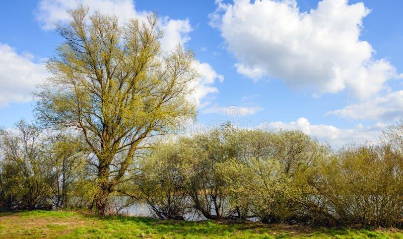 Saule et arbustes de bourgeonnement sur les banques d'une rivière images libres de droits