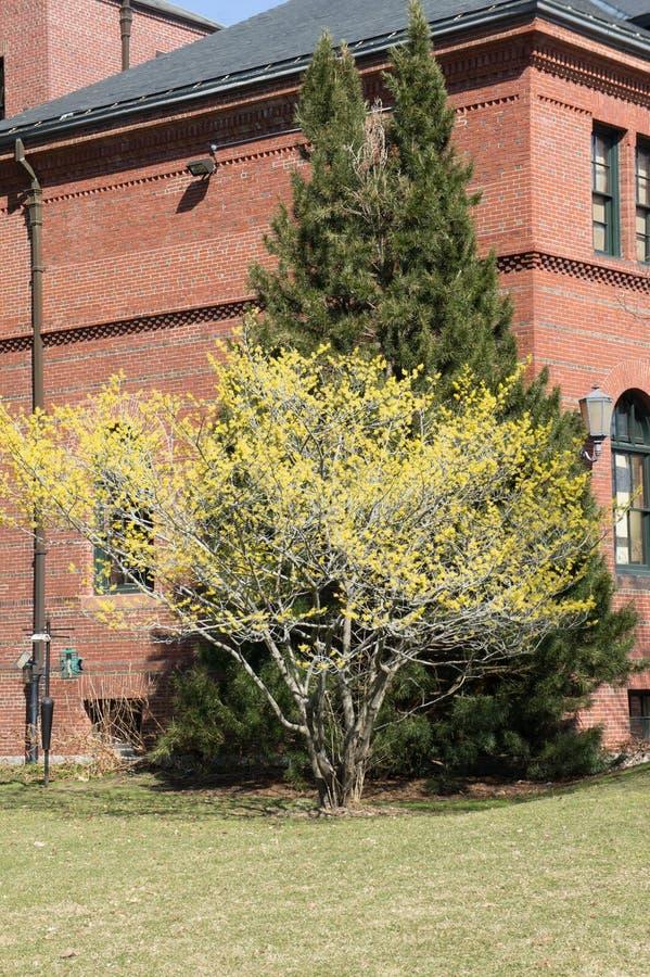 Saule et pin contre un bâtiment chez Arnold Arboreteum photos stock