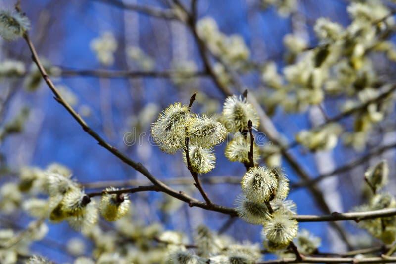 Saule fleurissant La branche fleurissante de saule de chat sur le bleu naturel a brouillé le plan rapproché de fond image libre de droits