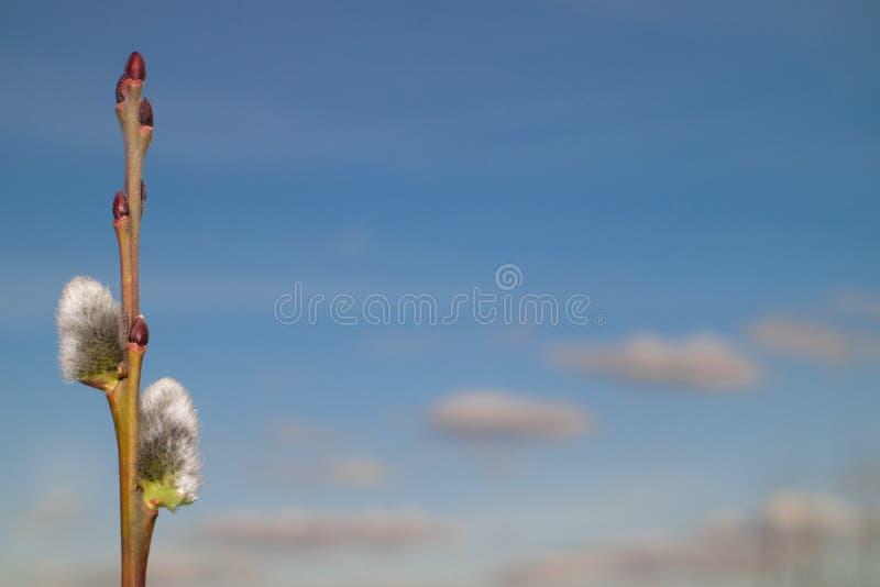 Saule fleurissant sur le fond de ciel images libres de droits