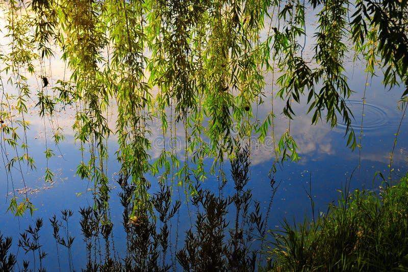 Saule pleurant se reflétant dans l'eau calme d'une rivière image stock
