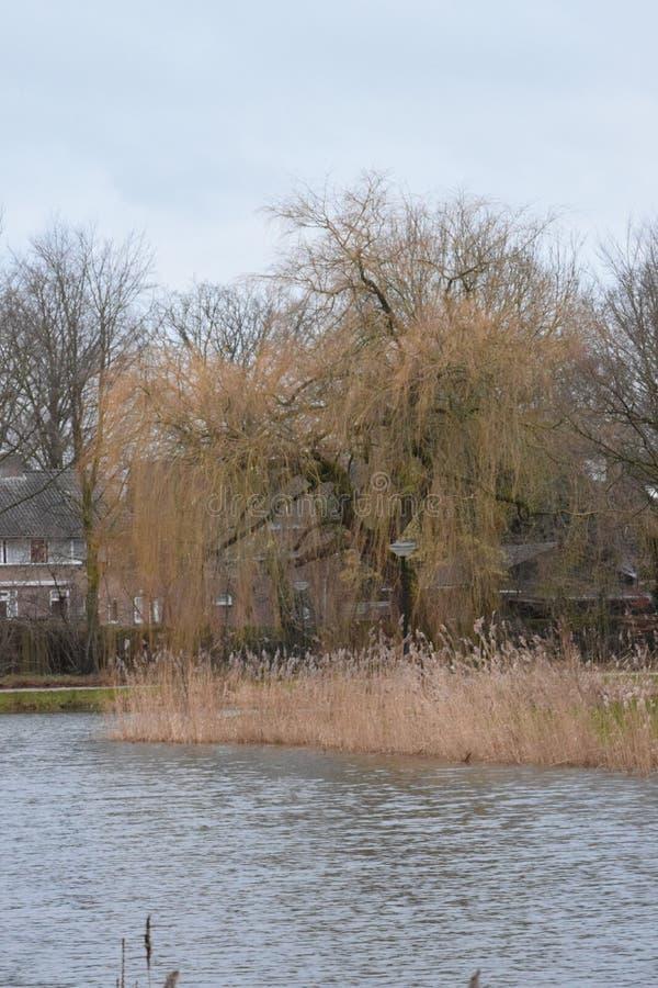 Saule pleurant surveillant notre étang de village image stock