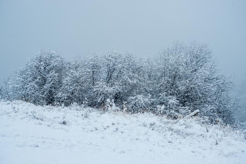 Saules couverts dans la neige photos stock