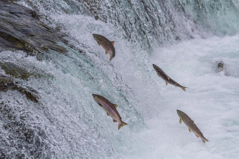 Saumon rouge Salmon Jumping Up Falls photo stock