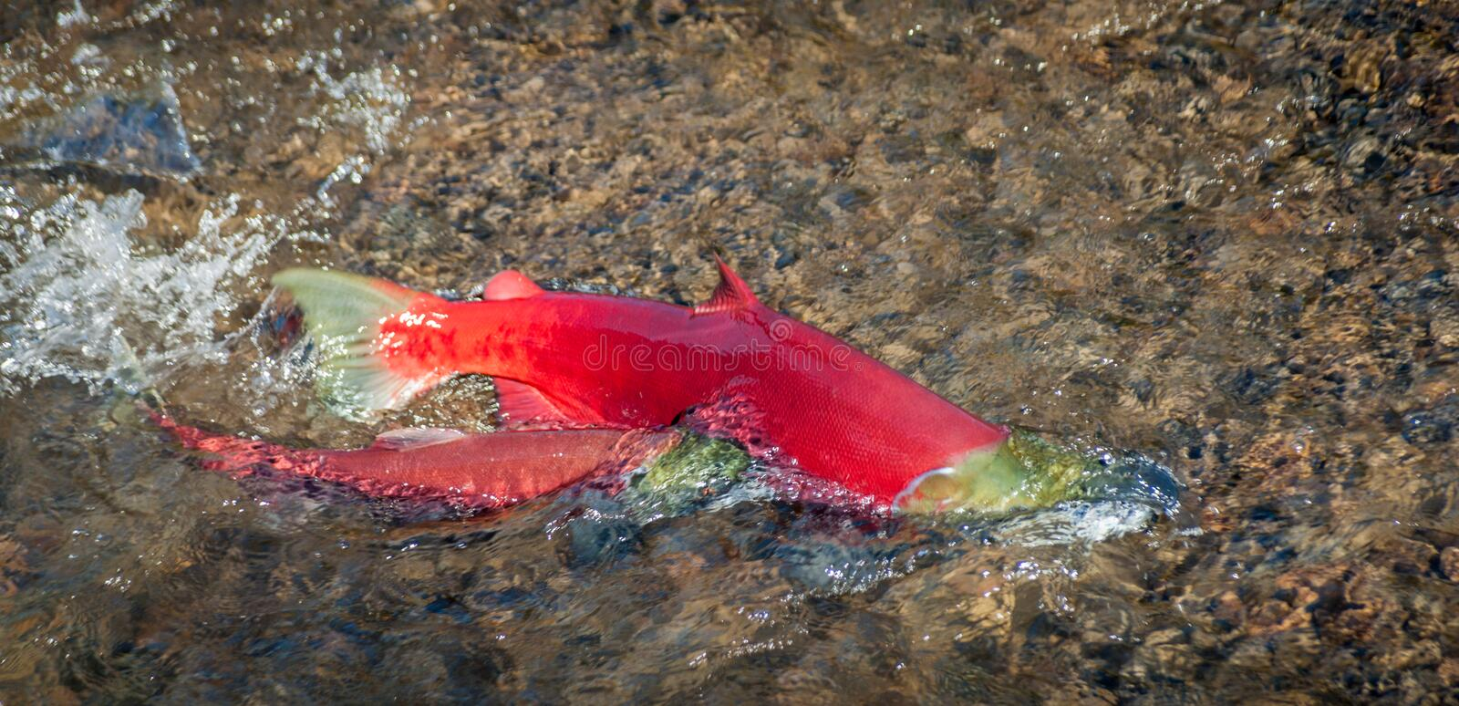 Saumon rouge Salmon Pair - jeu de accouplement images stock